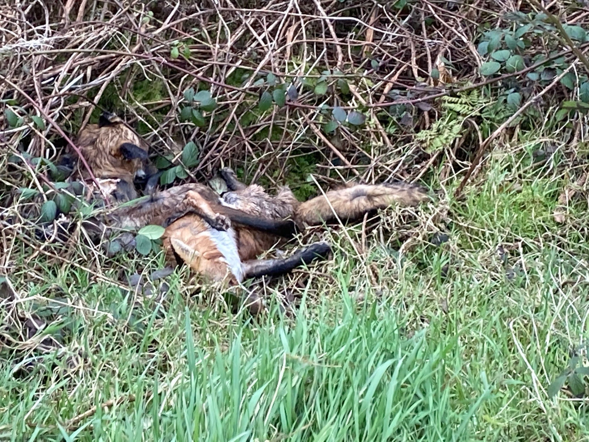 Outrage as dead foxes dumped in Donaghadee